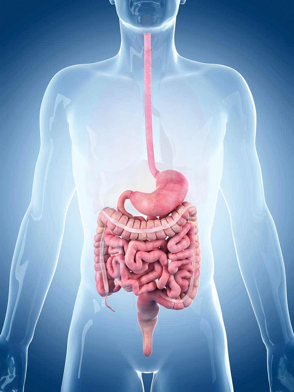 Die Anatomie des Darms